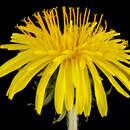 Image of Common Dandelion