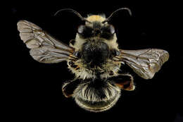 Image of Anthophora