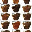 Image of <i>Austrarchaea dianneae</i> Rix & Harvey 2011