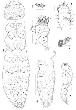 Image of Sensillonychiurus Pomorski & Sveenkova 2006
