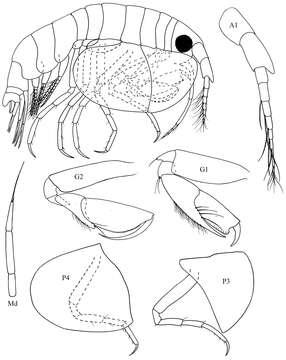 Image of Cyproidea