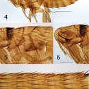 Image of <i>Lentistivalius philippinensis</i> Hastriter & Bush 2013