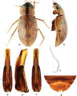 Image of <i><i>Berosus</i></i> (Berosus) <i>interstitialis</i> Knisch 1924