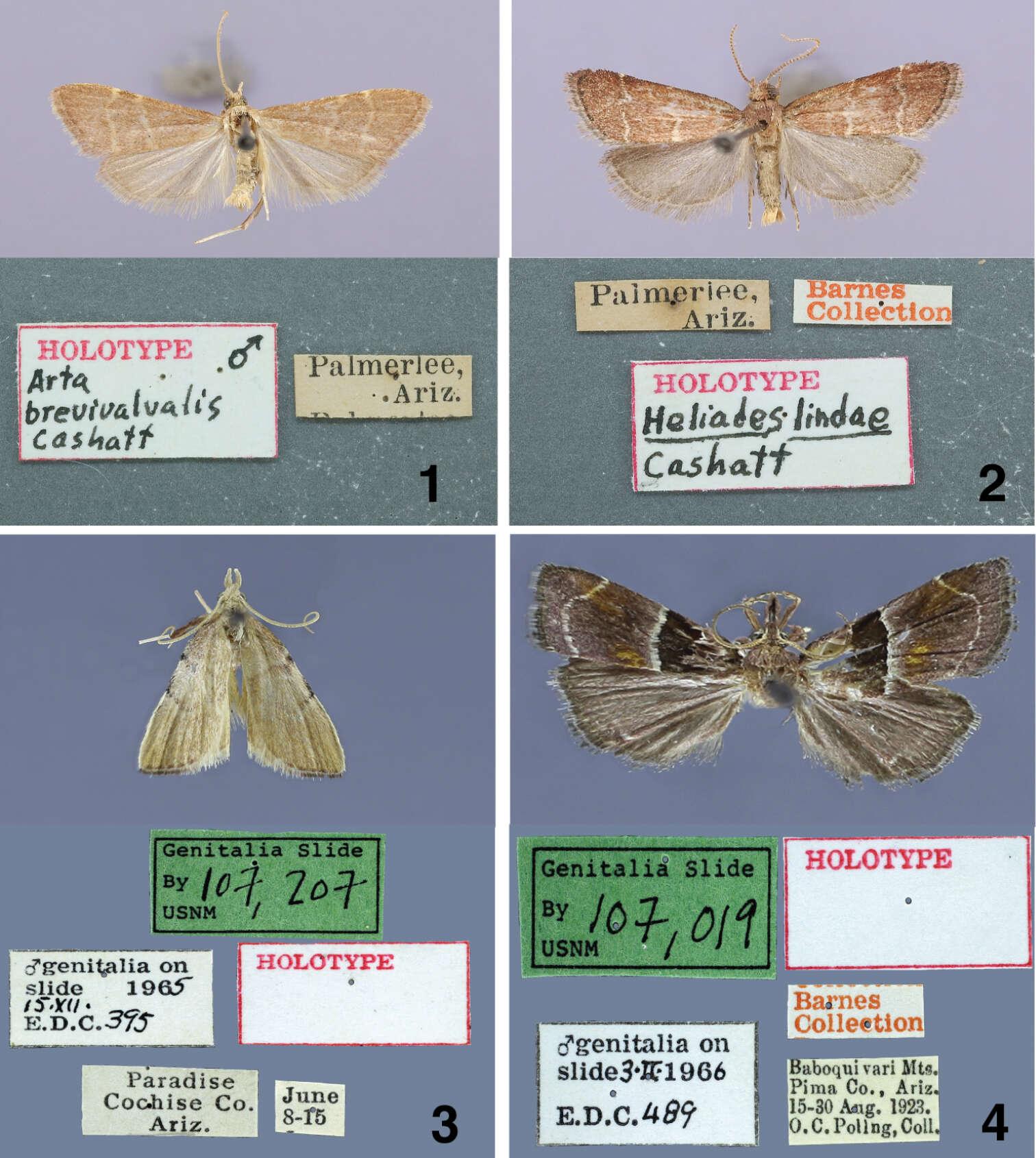 Image of Amphiesmenoptera