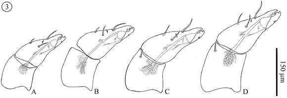 Image of Neocarus Chamberlin & Mulaik 1942