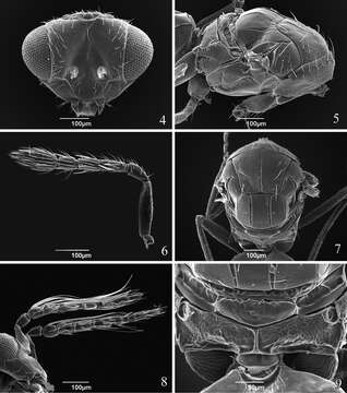 Image of eulophid wasps