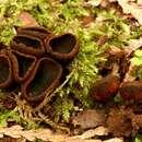 Image of <i>Plectania melastoma</i> (Sowerby) Fuckel 1870