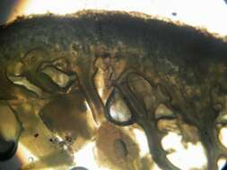 Image of <i>Lepiota trichroma</i> Montoya & Bandala 2006