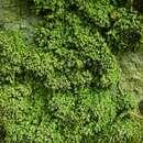 Image of <i>Biatora chrysantha</i> (Zahlbr.) Printzen
