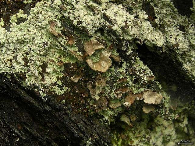 Image of Peltigeraceae