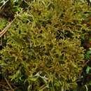 Image of reticulate cetraria lichen
