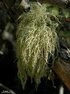 Image of Lapland beard lichen