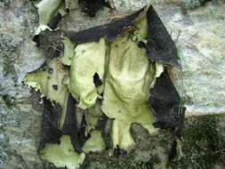 Image of Umbilicariales