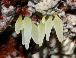 Image of Mucronella