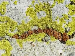 Image of Acarosporales