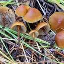 Image of <i>Mythicomyces corneipes</i> (Fr.) Redhead & A. H. Sm. 2011