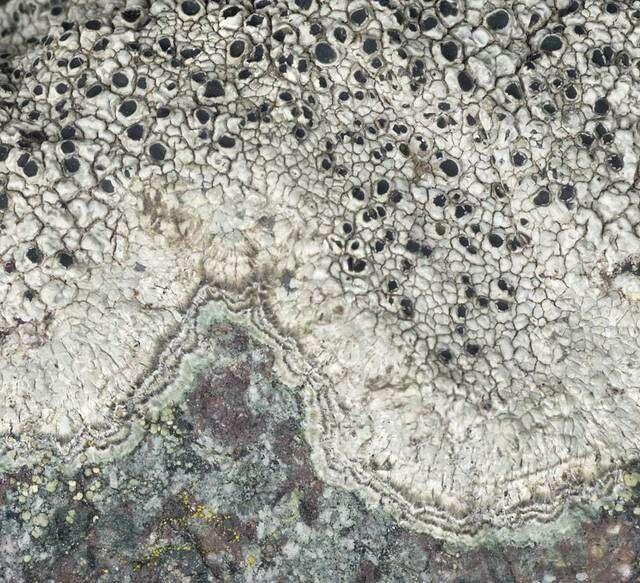 Imagem de Pertusariales