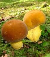 Image of Agaricomycotina