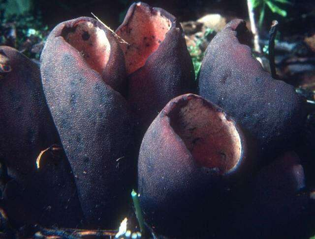 Image of Sarcoscyphaceae