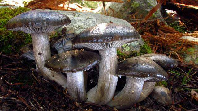 Image of Hygrophorus