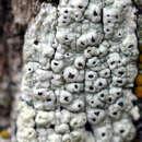 Image of pore lichen