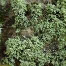 Image of mealy lichen