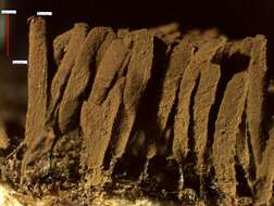 Image of amoebas