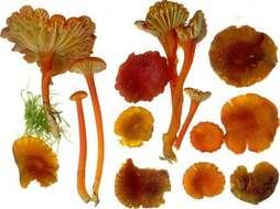 Image of Hygrophoraceae