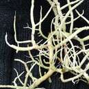 Image of fragile beard lichen