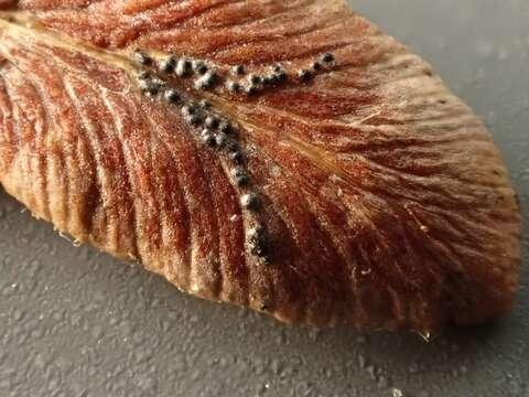 Image of Dothideomycetes
