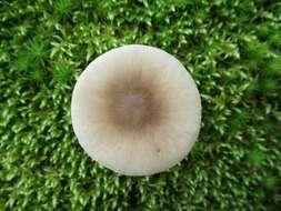Image of <i>Amanita solaniolens</i> H. L. Stewart & Grund 1974