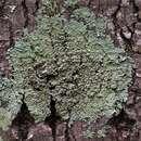Image of pyxine lichen