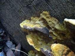 Image of Hymenochaetales