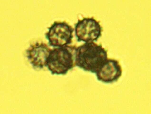 Image of <i>Lactarius subserifluus</i> Longyear 1902