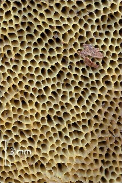 Image of Hemileccinum