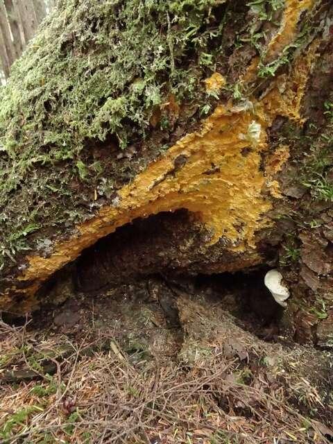 Image of Coniferiporia