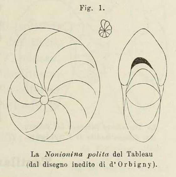 Image of Nonionoidea Schultze 1854