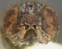 Image of Tephritoidea