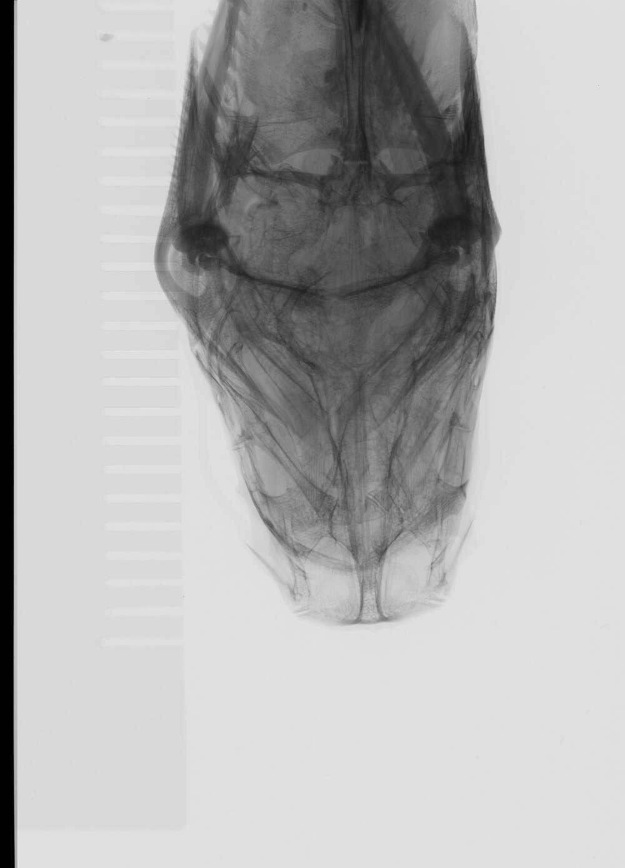 Image of Pimelodus