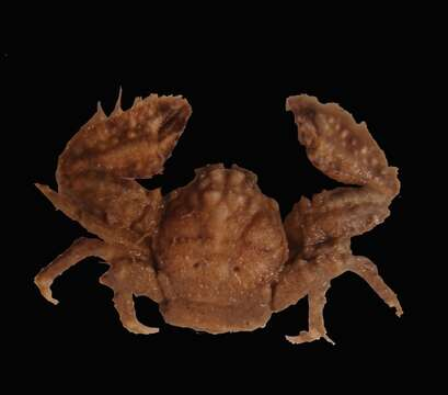 Image of porcelain crabs