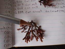 Image of Corallinophycidae