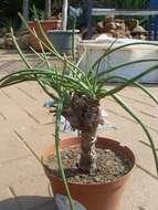 Image of <i>Aloe craibii</i> Gideon F. Sm.