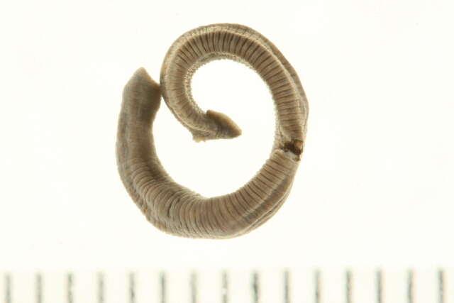 Image of Proboscisless leeches