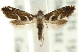 Image of Glyphipterix