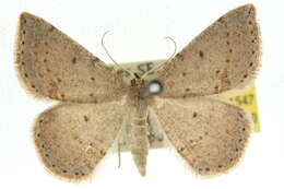 Image of Taxeotis