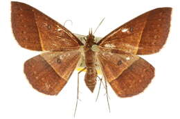 Image of Epidesmia