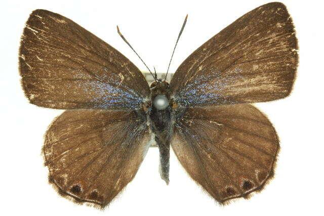 Image of Anthene