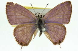 Image of Catopyrops