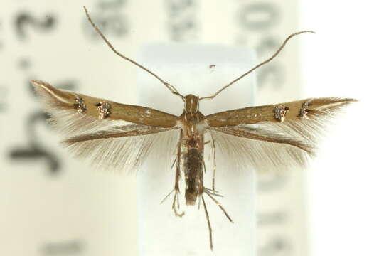 Image of <i>Cosmopterix chlorochalca</i> Meyrick 1915