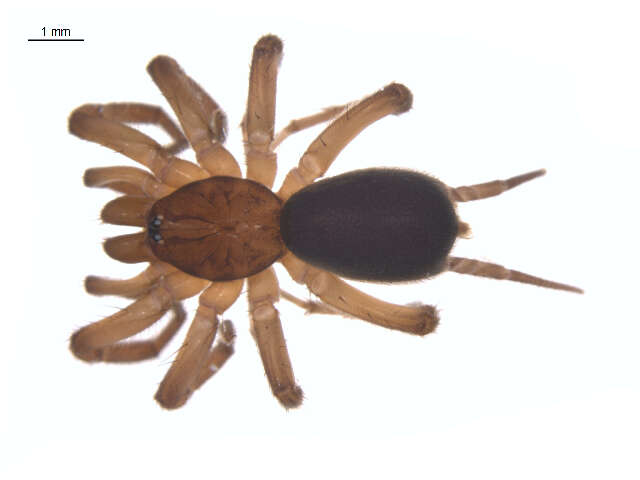 Image of mygalomorphs